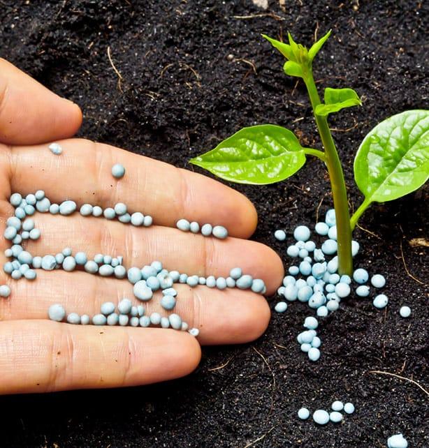 Выращивание базилика на участке и уход за растением. сбор и хранение базилика