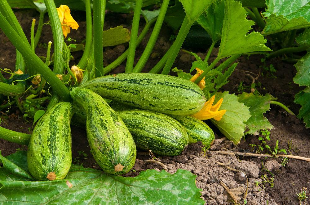 Почему плохо растут кабачки и желтеют в открытом грунте, что делать, лечение - всё про сады