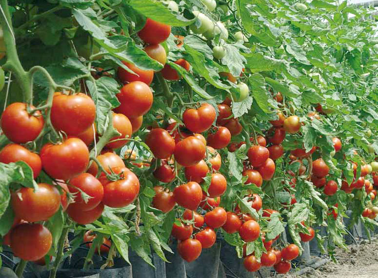 Ампельные томаты | описание 12 лучших сортов с фото, выращивание | +отзывы