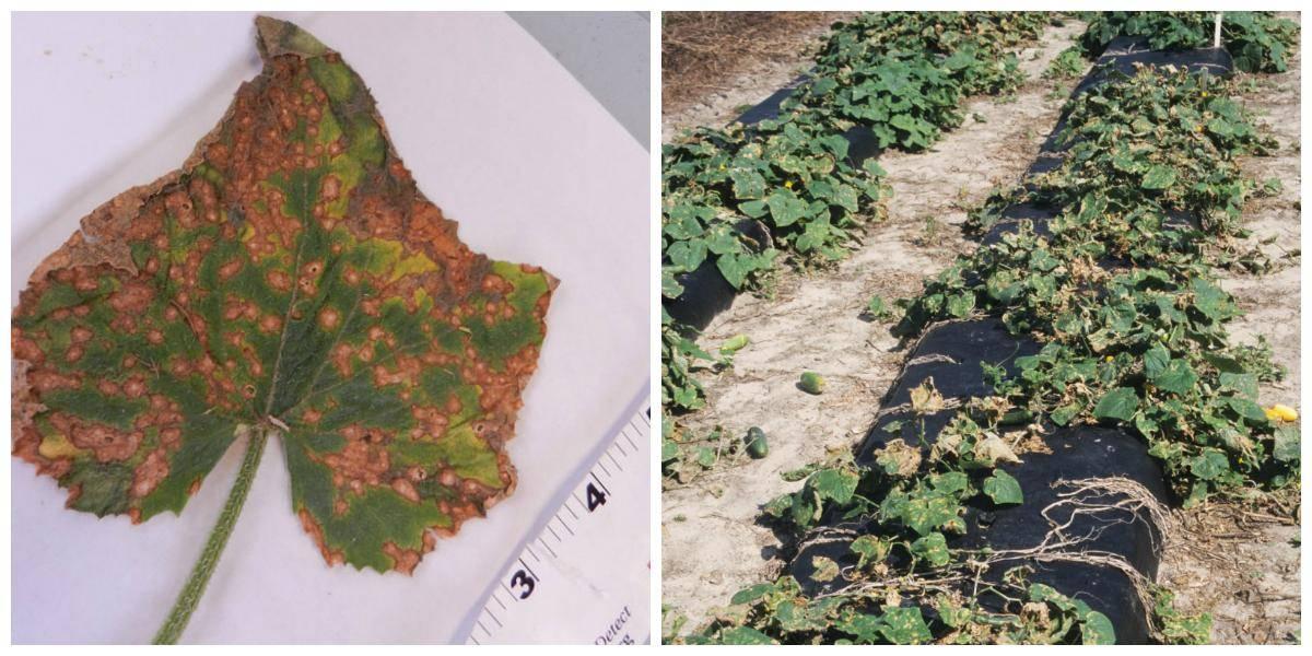Желтые пятна на листьях огурца: чем обработать, как предотвратить