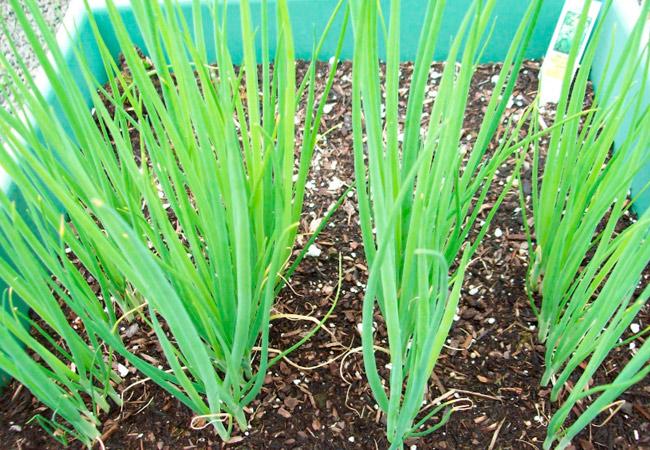 Особенности выращивания лука-батуна - сорта, посадка, размножение, борьба с вредителями