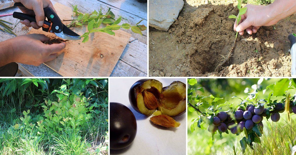Размножение сливы черенками летом — преимущества и недостатки