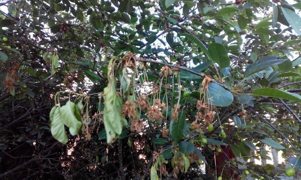 Как и чем лечить монилиоз плодовых культур, лучшие проверенные средства