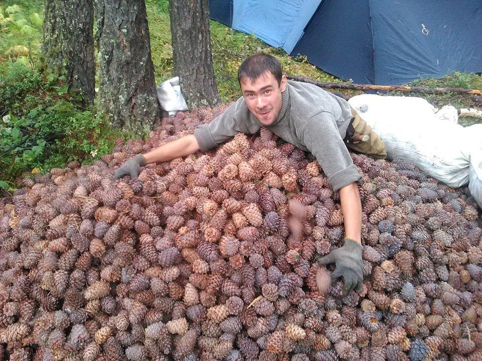 Кедр: растим из шишек на supersadovnik.ru