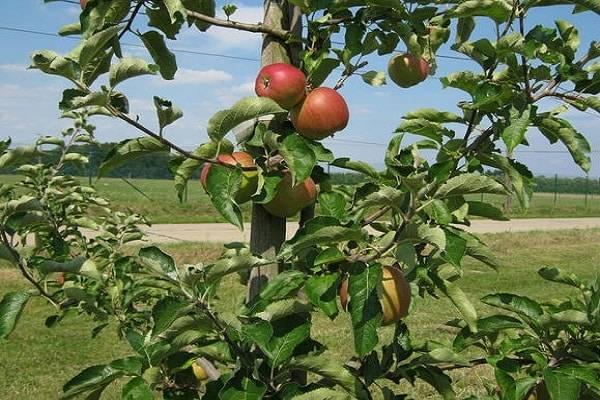 Яблоня благая весть: описание сорта, топ советов по выращиванию