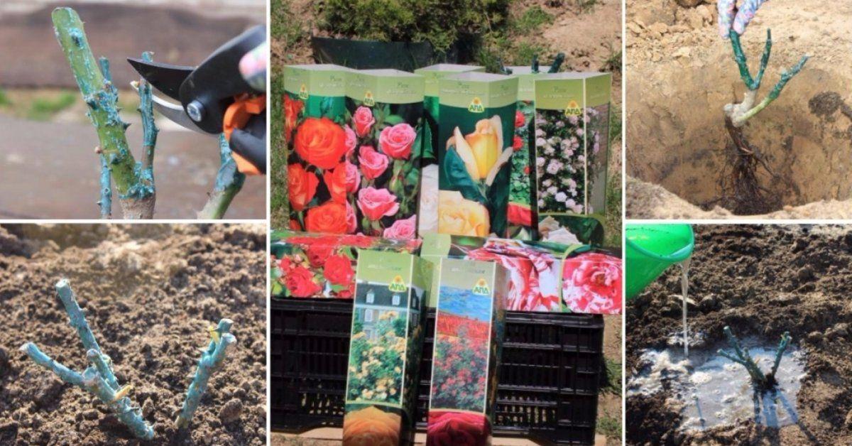 Сажаем розы: как выбрать саженцы | сайт о саде, даче и комнатных растениях.