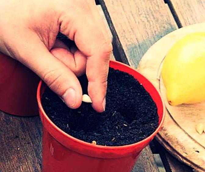 Как приготовить землю для лимона в домашних условиях
