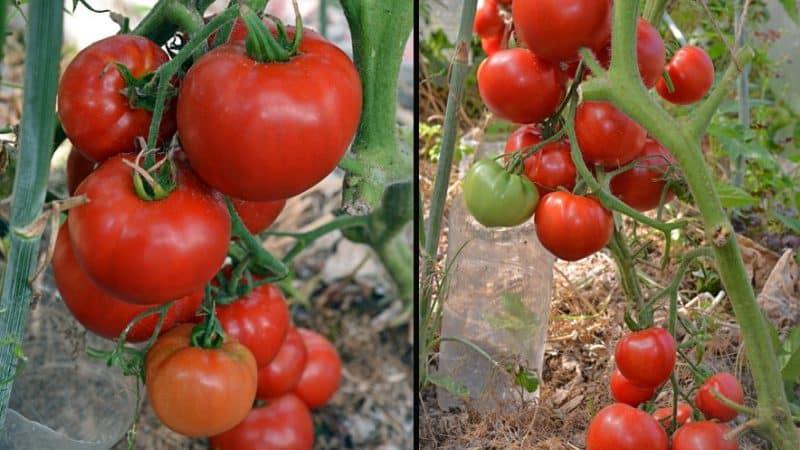 Томат сладкая девочка f1: описание сорта, фото помидоров, отзывы об урожайности растения