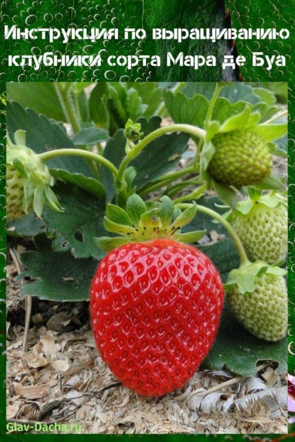 Земляника мара де буа: выращивание, описание сорта, фото и отзывы