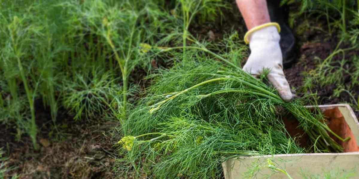 Можно ли сажать укроп под зиму и когда: озимый посев в открытый грунт осенью, как правильно и какие сорта лучше подойдут