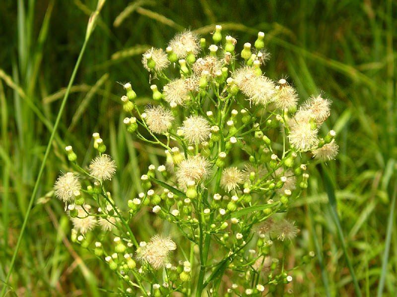 Мелколепестник канадский: заткни гузно, применение травы