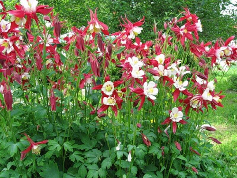 Аквилегия (56 фото): описание цветка орлика или водосбора, посадка и уход в открытом грунте, выращивание рассады и размножение. как ухаживать после цветения?