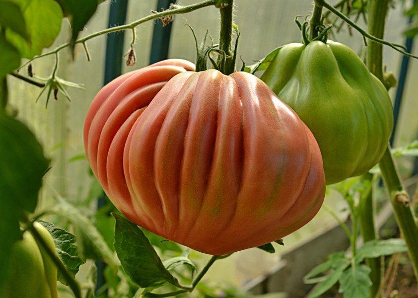 ✅ томат инжир красный: описание сорта, урожайность, особенности выращивания и ухода, фото - tehnoyug.com