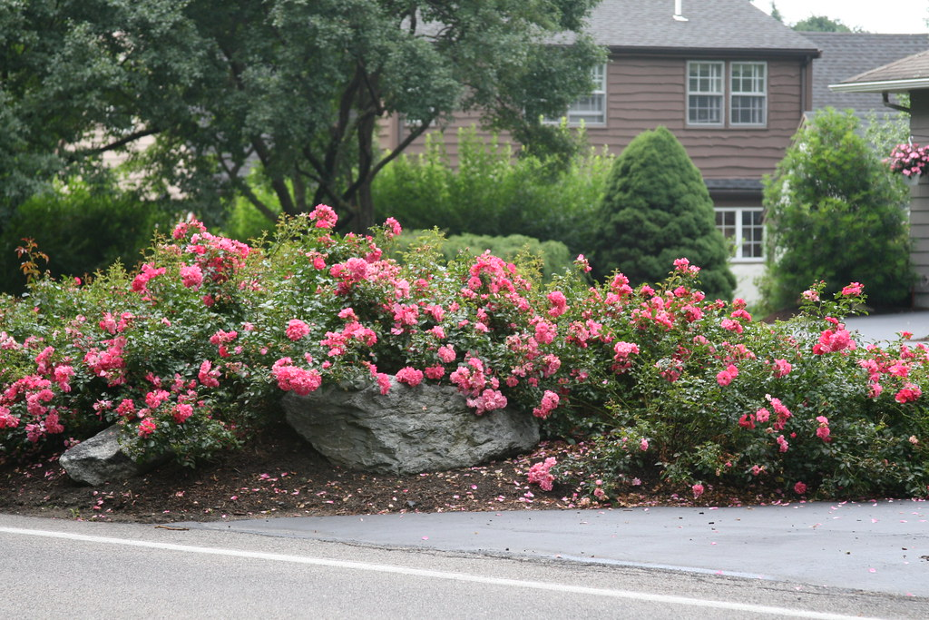 Почвопокровные розы и их разновидности: особенности стелющихся сортов, правила посадки, выращивания и ухода