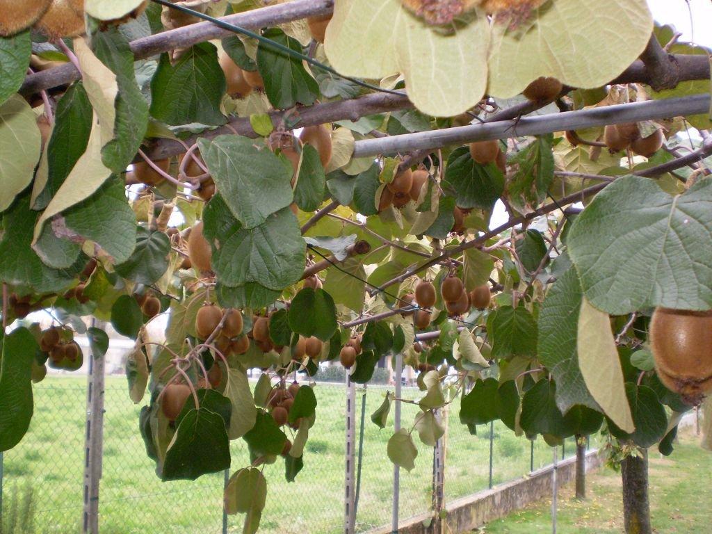 Актинидия посадка и уход сорта с фото и описанием выращивание из семян черенкование