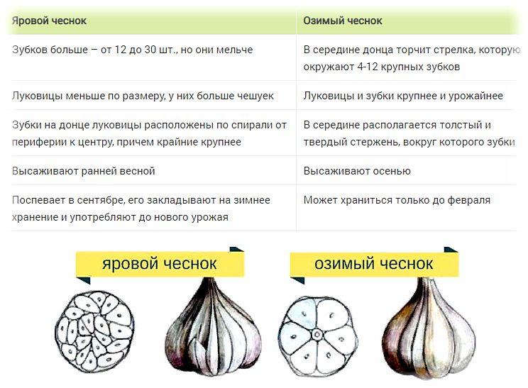 Когда убирать чеснок, посаженный под зиму в 2021 году по лунному календарю и по регионам: таблица