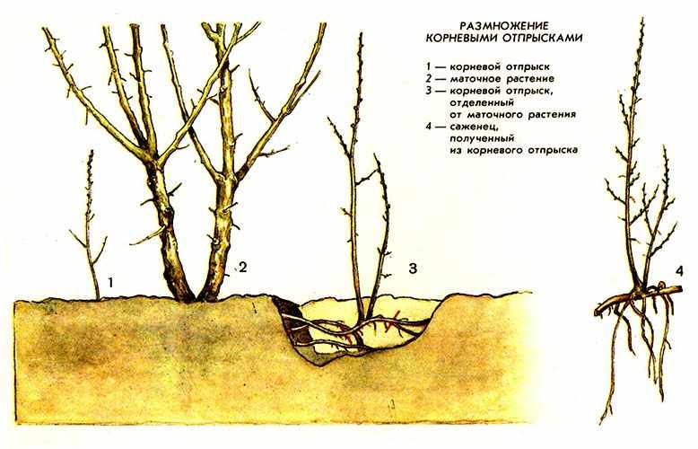 Как вырастить грушу из семечка в домашних условиях: инструкция с фото пошагово