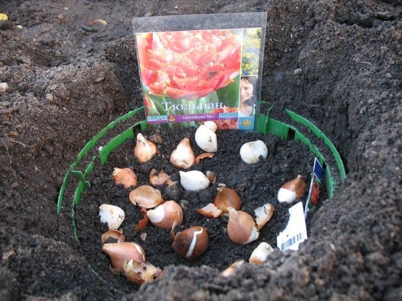Как провести посадку тюльпанов весной, чтобы они успели зацвести