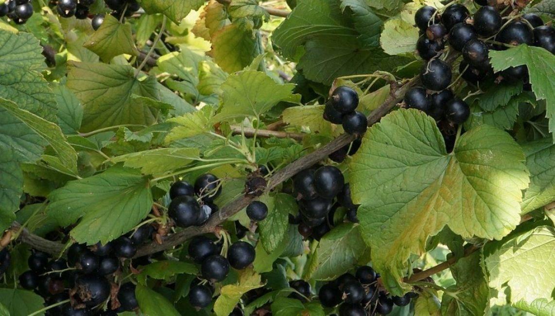 Сорта черной смородины - 145 фото лучших сортов и видео описание их посадки