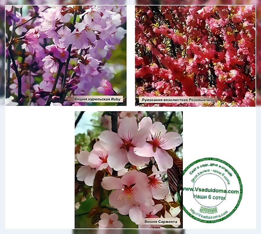 Японская вишня (сакура) - популярные сорта декоративного дерева. секреты ухода и выращивания в домашних условиях (110 фото)