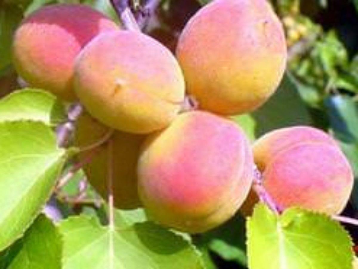 Абрикос саратовский рубин: описание сорта с фото и 5 правил успешного выращивания