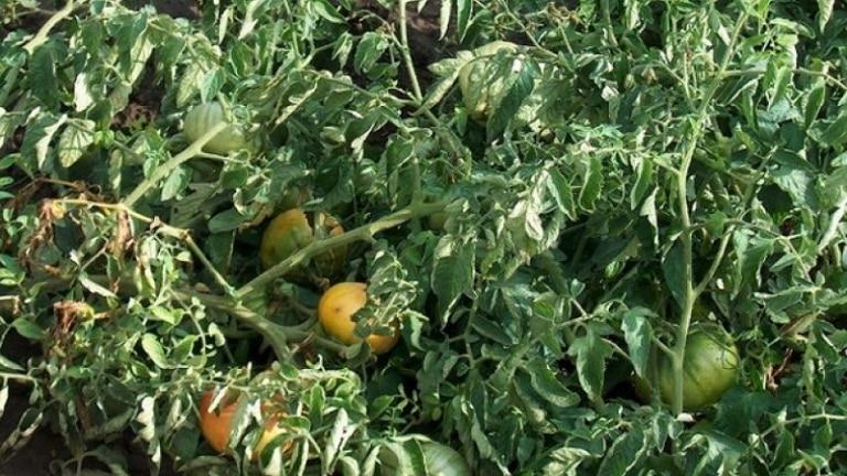 Фузариоз огурцов, томатов, картофеля. средства борьбы
