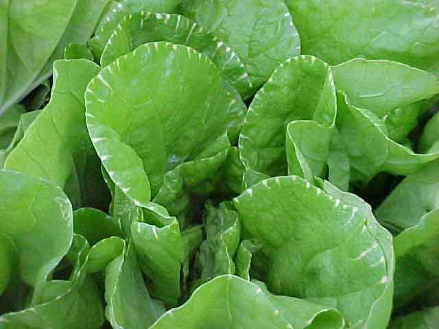 Почему у капусты скручиваются листья: причины