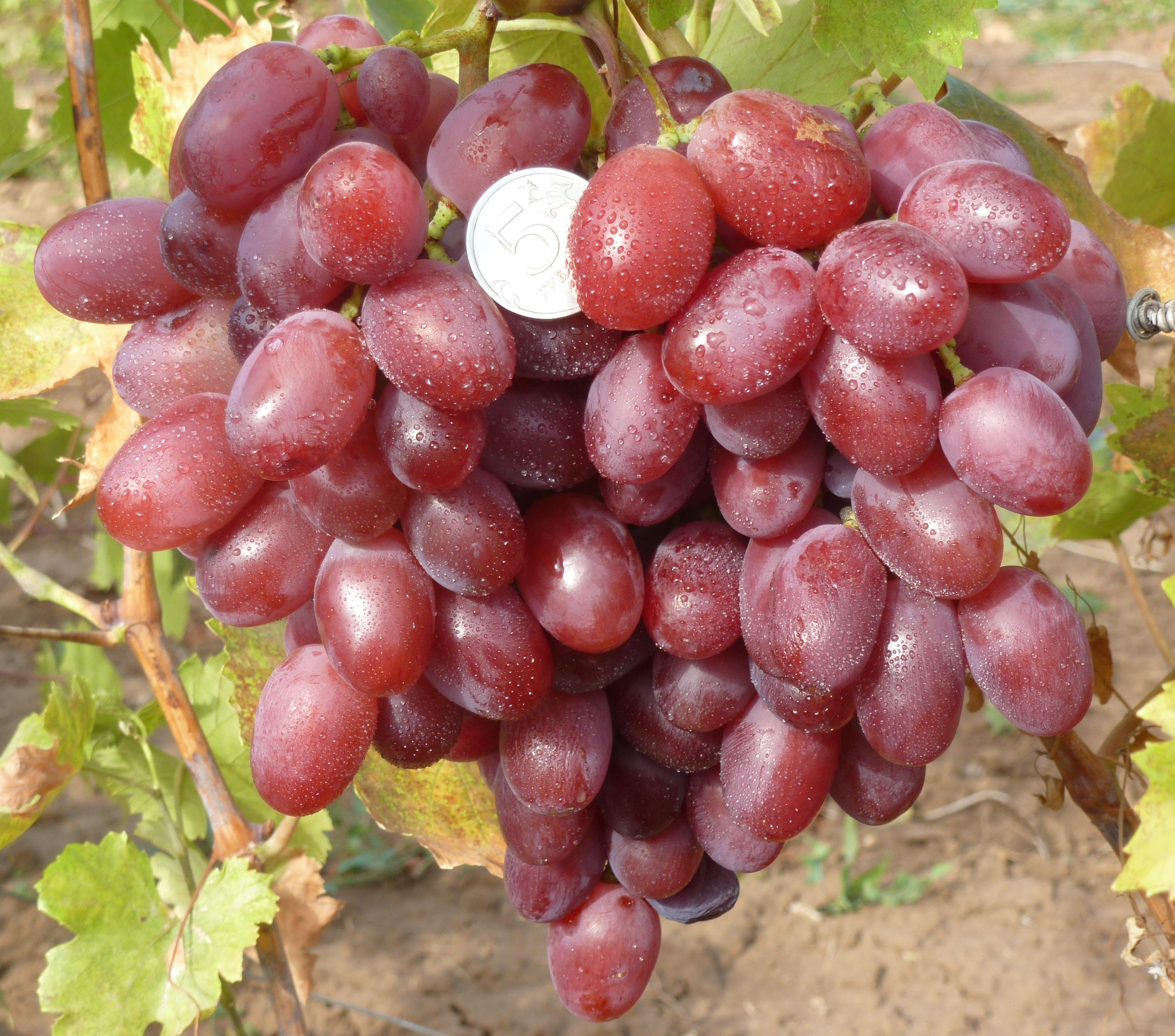 Виноград новый подарок запорожью: описание сорта и фото, его характеристики и особенности selo.guru — интернет портал о сельском хозяйстве