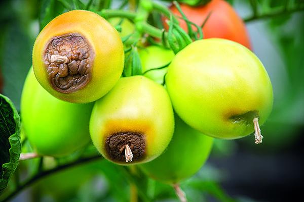 Вершинная гниль томатов: лечение на помидорах в теплице, как бороться в открытом грунте, профилактика