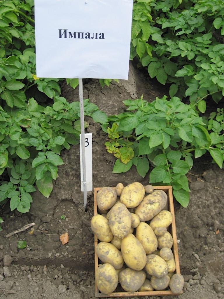 Картофель импала: описание сорта, фото, отзывы, вкусовые качества