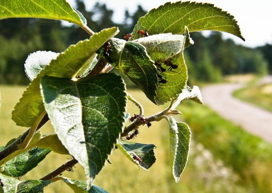 Признаки появления тли на груше и меры борьбы с ней