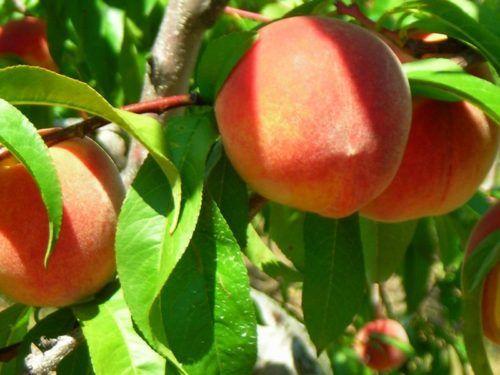 Персик киевский ранний: описание сорта, посадка и уход, размножение, сбор урожая