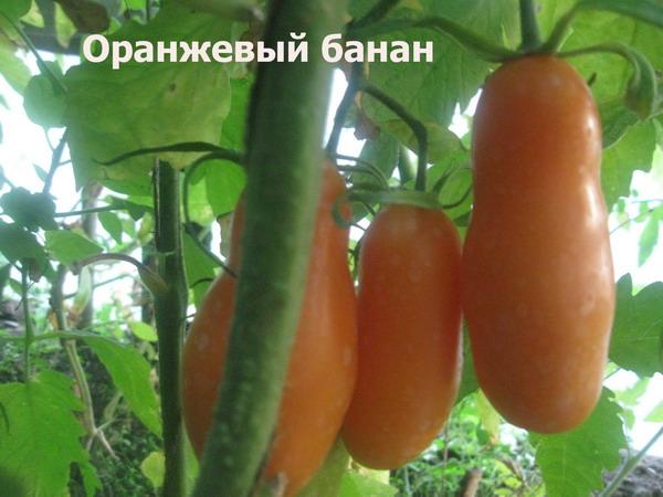 Описание сорта томатов «банан оранжевый»