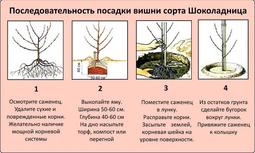 Сорта черешни - 100 фото лучших сортов для посадки и видео выращивания дерева