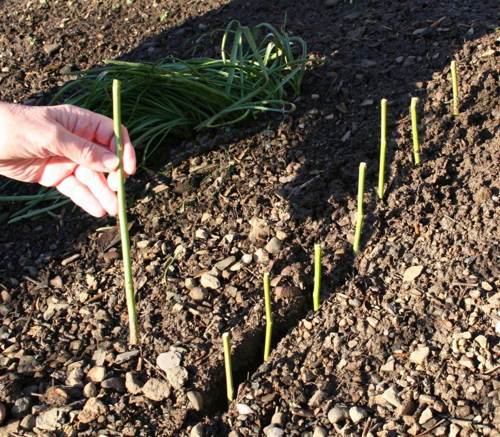 Роза флорибунда - выращивание, посадка и уход