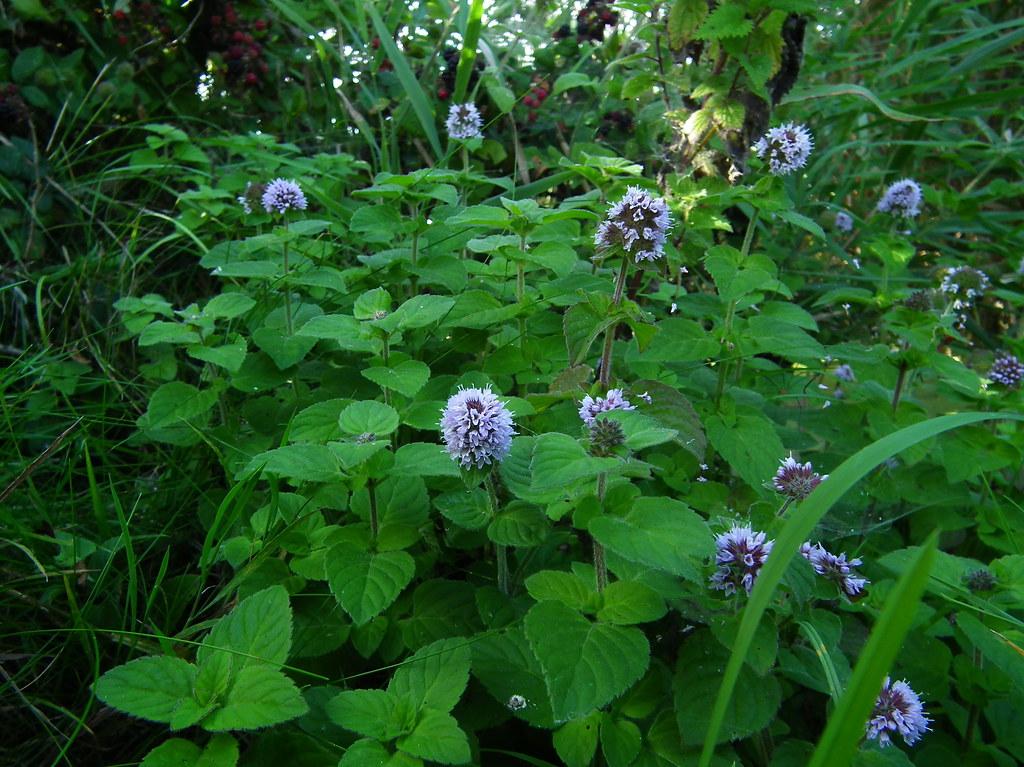 Описание и выращивание мяты колосистой, правила посадки и ухода
