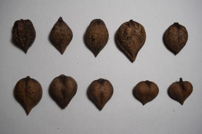 Ланкастерский орех: посадка и уход, описание сорта