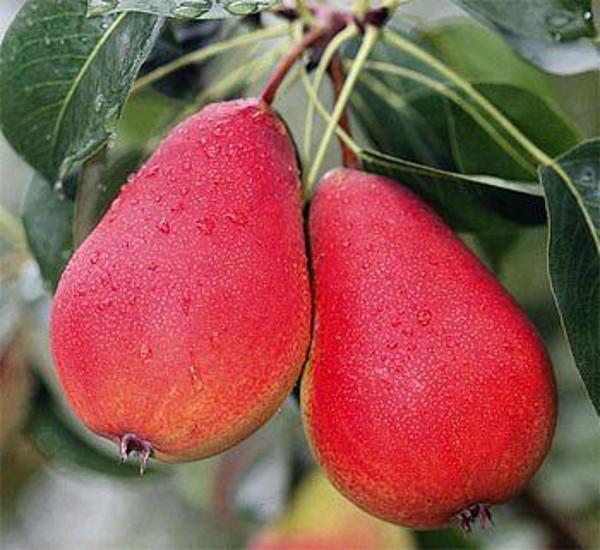 Груша мраморная: описание сорта, отзывы садоводов, фото урожая и правила выращивания, посадки и ухода