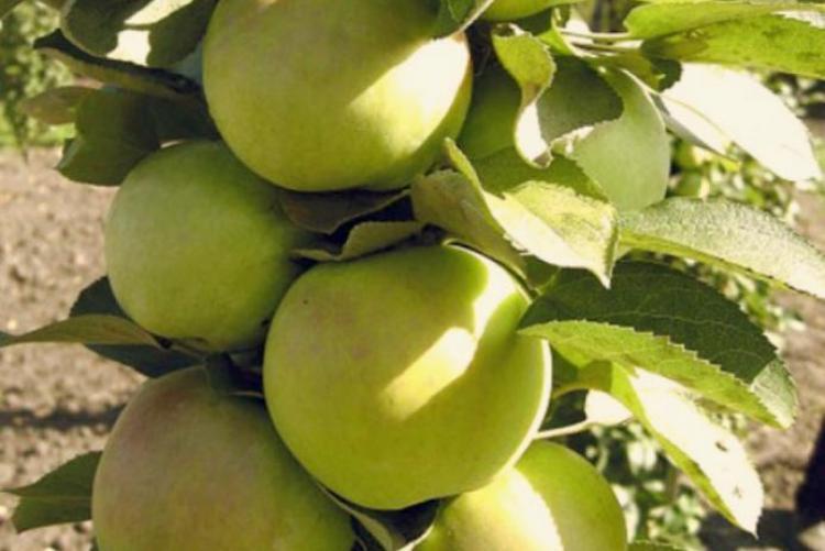 Яблоня колоновидная малюха, выращивании в московской области