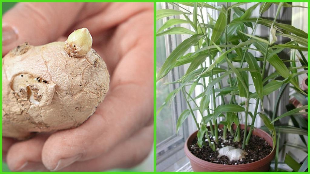 Практическое руководство по выращиванию корня имбиря в домашних условиях