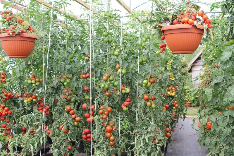 Суть голландской технологии выращивания помидор