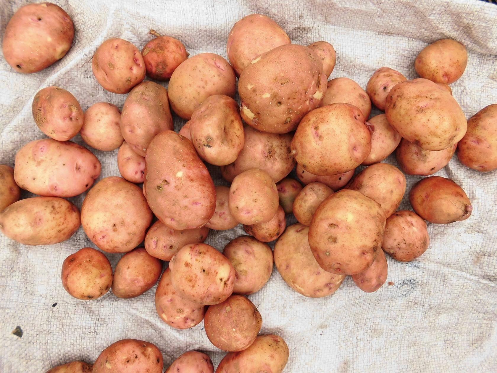 Картофель беллароза: характеристика сорта, описание сорта, отзывы и фото