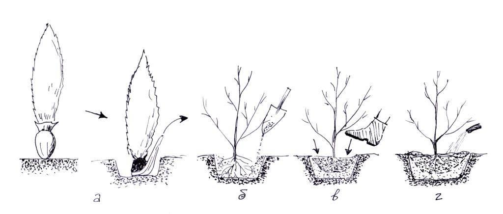Живая изгородь из садового долгожителя - боярышника