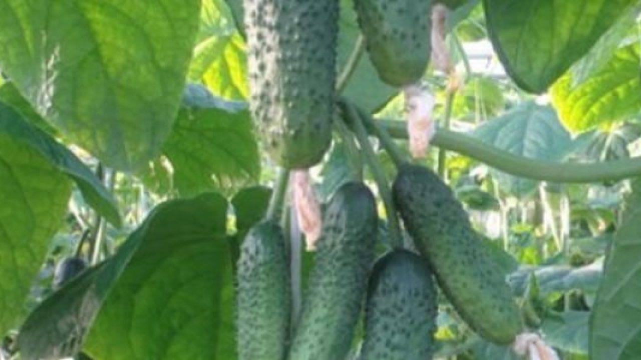Огурец эколь: описание сорта и 6 правил агротехники