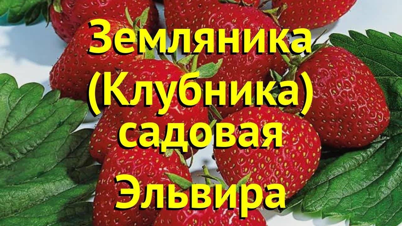 Клубника сельва — описание сорта, фото, отзывы садоводов