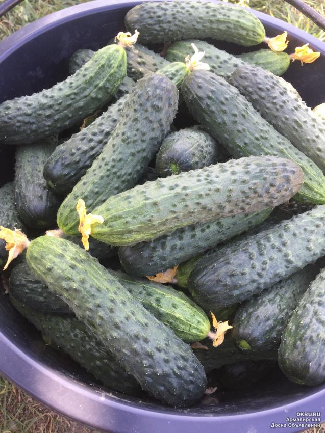 Сорт огурцов мамлюк: описание, агротехника выращивания - блогфермера