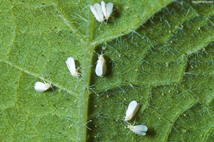 Белокрылка на огурцах – как избавиться и чем обработать землю