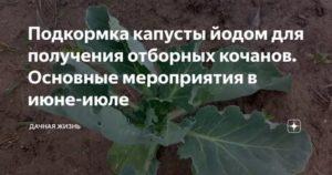Чем подкормить капусту после высадки в грунт: народными средствами для быстрого роста