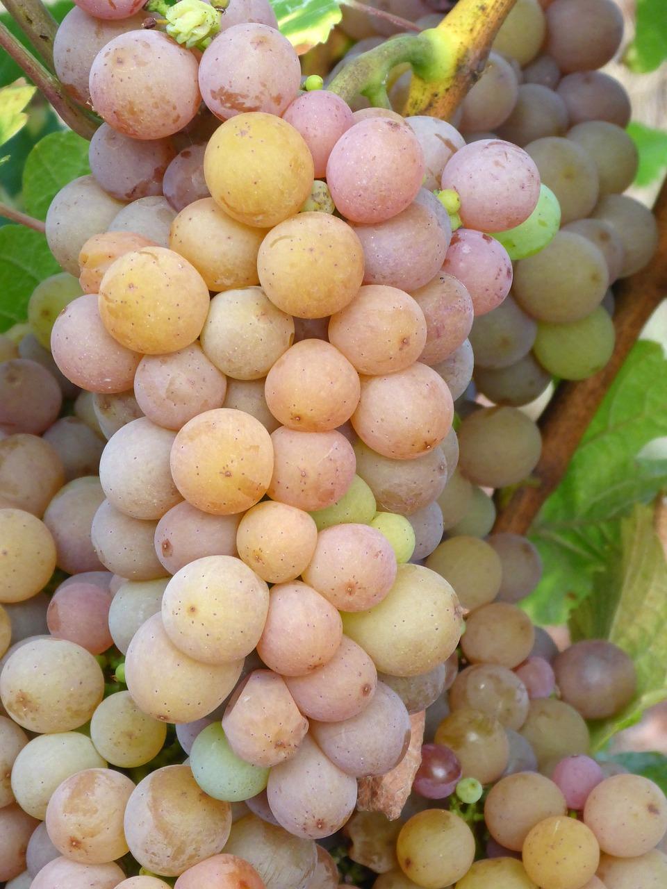 Описание сорта винограда пино нуар