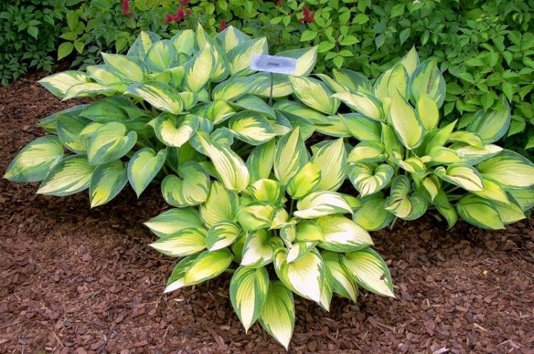Хоста - 82 фото очень многогранного и очень красивого растения